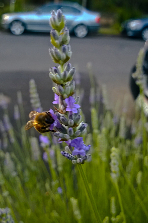 2 Quote A Flower Daily - Lavender Bee