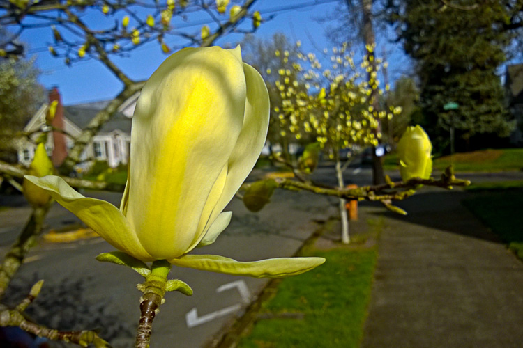 2 Quote A Flower Daily - Magnolia Elizabeth 02