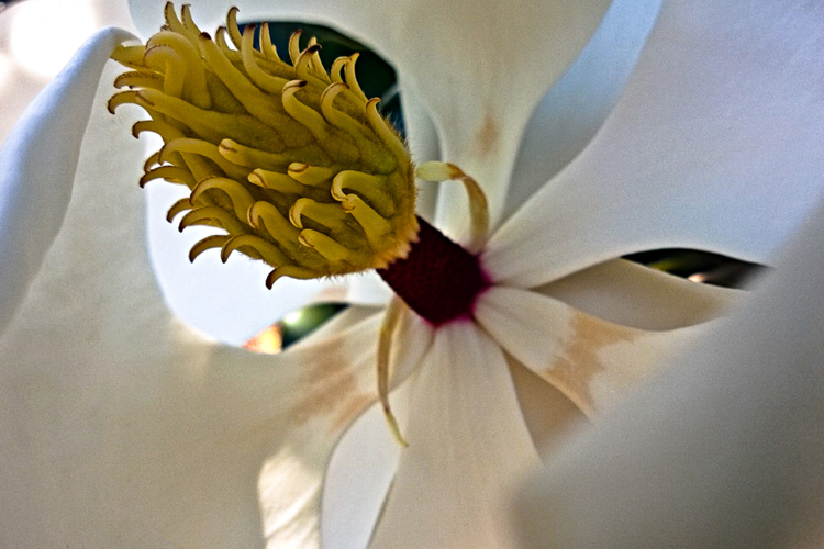 2 Quote A Flower Daily - Magnolia Macro 01