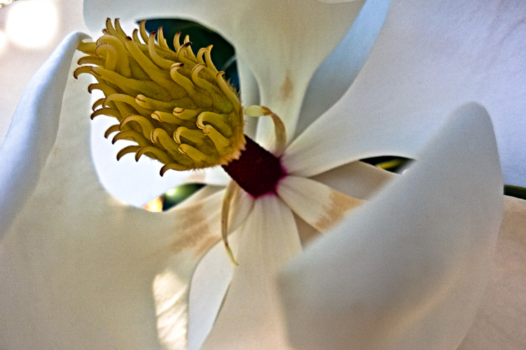 2 Quote A Flower Daily - Magnolia Macro 02