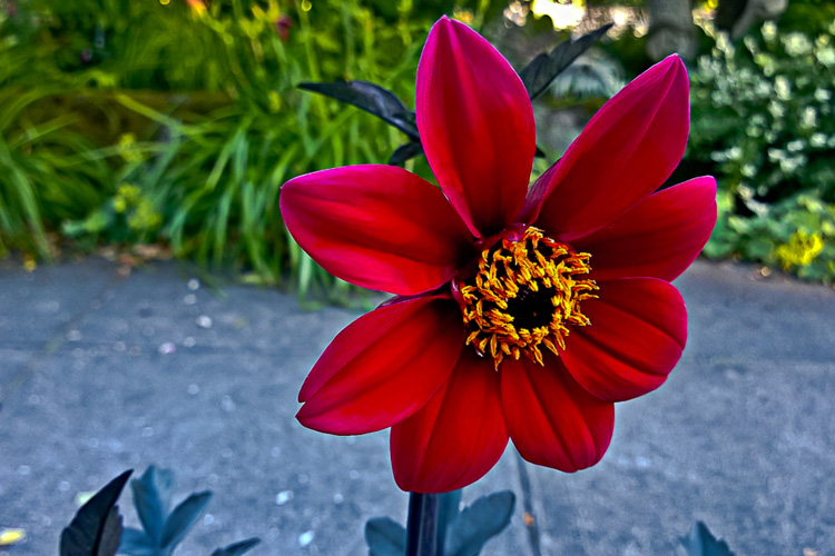 2 Quote A Flower Daily - Maroon Mystic Wonder Dahlia