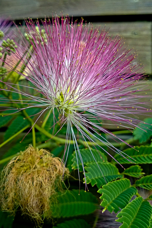 2 Quote A Flower Daily - Mimosa Blossom-2