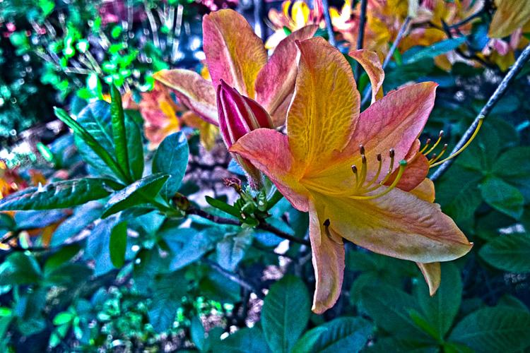 2 Quote A Flower Daily - Orange Azalea