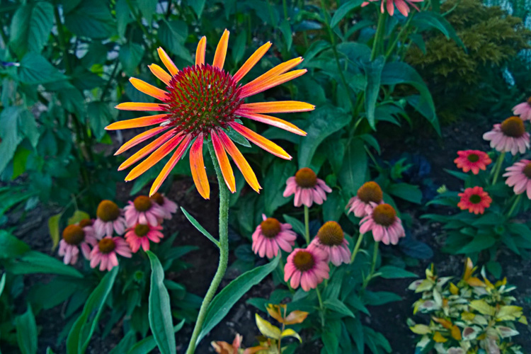 2 Quote A Flower Daily - Orange Echinacea-2