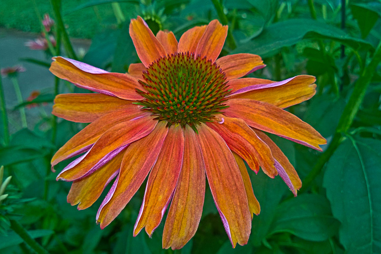 2 Quote A Flower Daily - Orange Echinacea-4