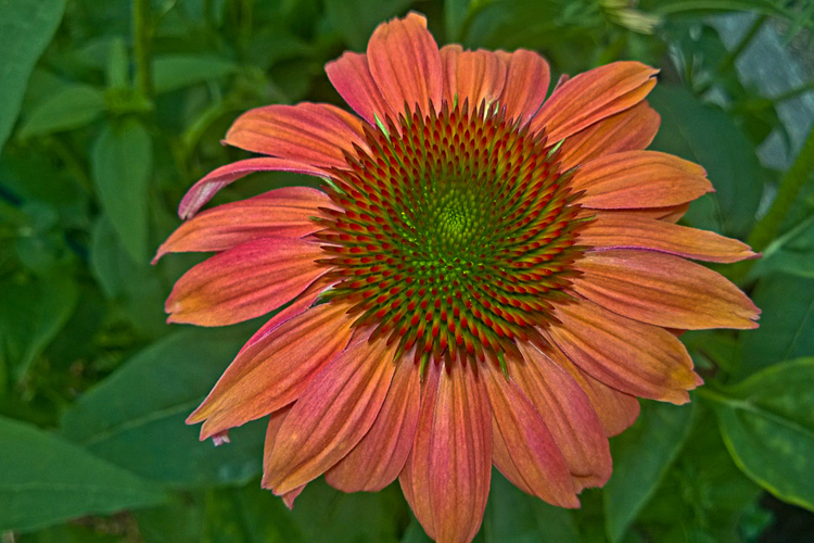 2 Quote A Flower Daily - Orange Echinacea-5