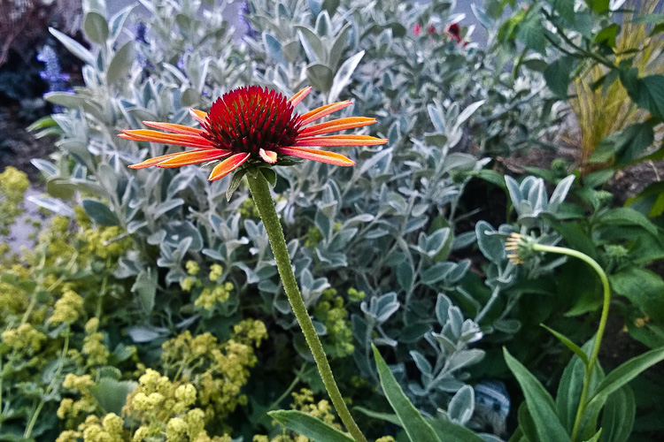 2 Quote A Flower Daily - Orange Echinacea Profile