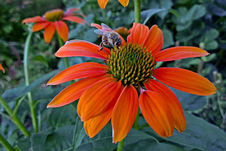 2 Quote A Flower Daily- Orange Echinacea with Bee 01