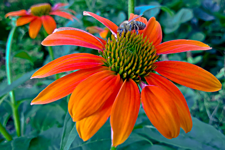 2 Quote A Flower Daily - Orange Echinacea with Bee