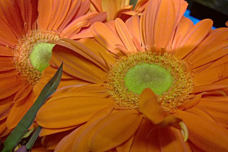 2 Quote A Flower Daily - Orange Gerberra 01