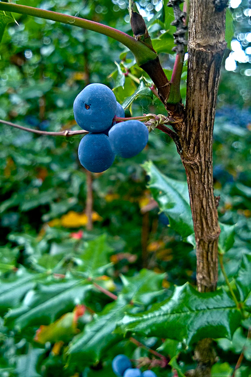 2 Quote A Flower Daily - Oregon Grape Berry 01