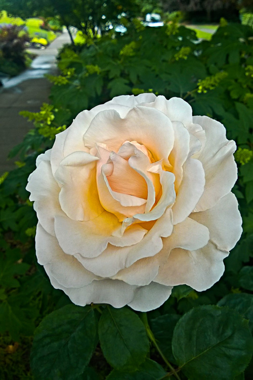 2 Quote A Flower Daily - Oregonian Rose