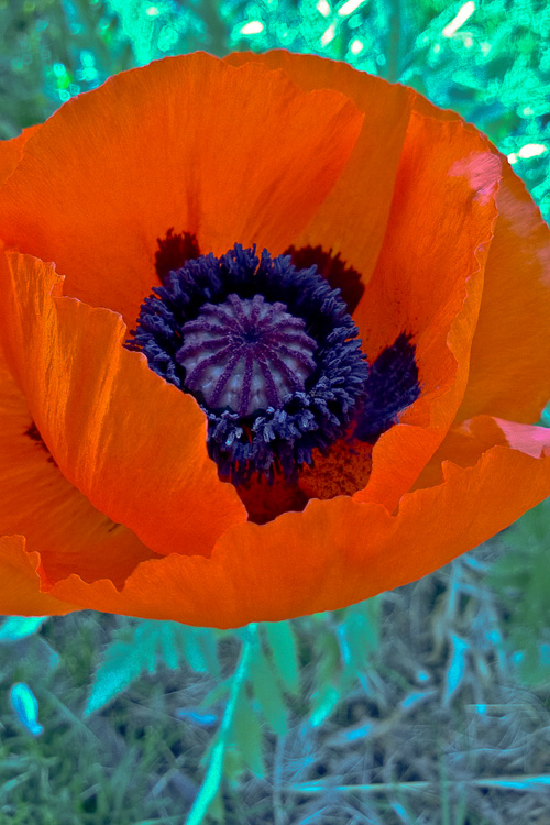 2 Quote A Flower Daily - Oriental Poppy-2