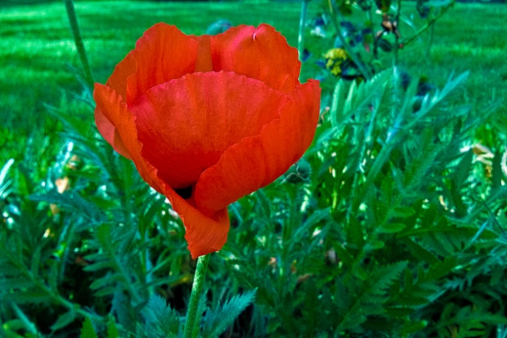 2 Quote A Flower Daily - Oriental Poppy Profile