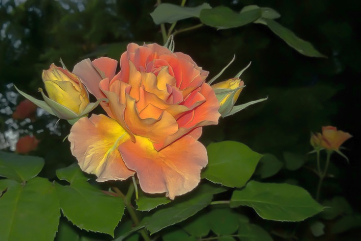 2 Quote A Flower Daily - Peach Silk Rose