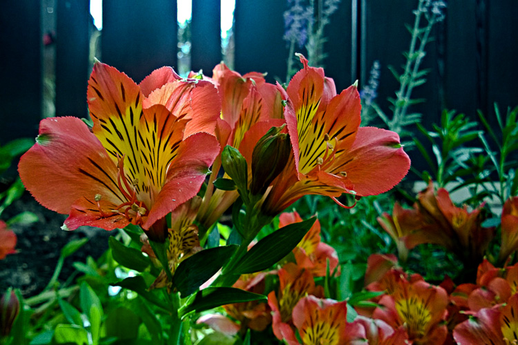 2 Quote A Flower Daily - Peruvian Lily Red