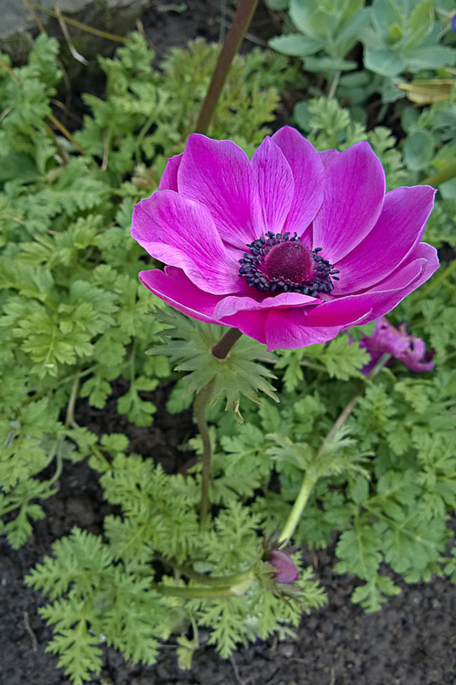 2 Quote A Flower Daily - Pink Anemone