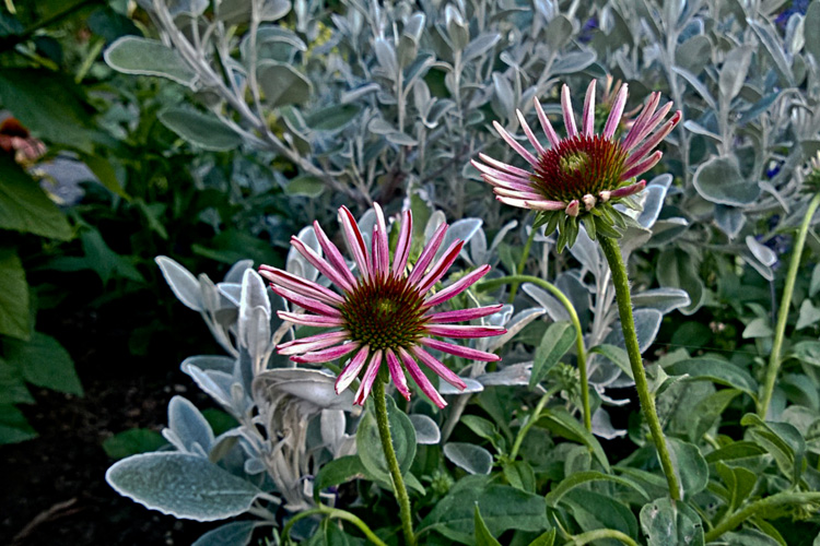 2 Quote A Flower Daily - Pink Echinacea Budding