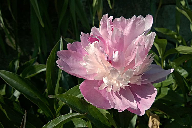 2 Quote A Flower Daily - Pink Peony 01