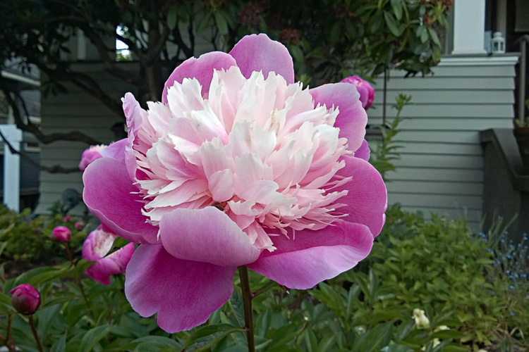 2 Quote A Flower Daily - Pink Peony 03