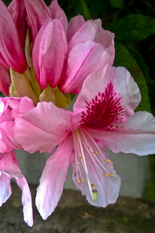 2 Quote A Flower Daily - Pink Rhododendron 02