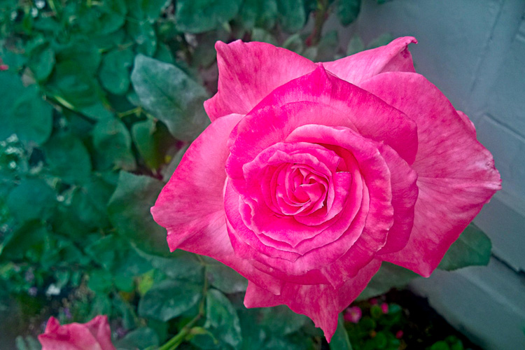 2 Quote A Flower - Pink Rose 02