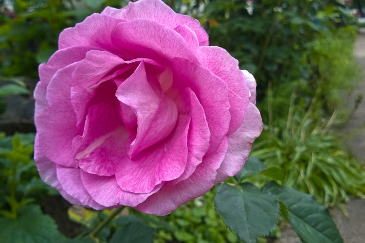 2 Quote A Flower Daily - PInk Rose 05