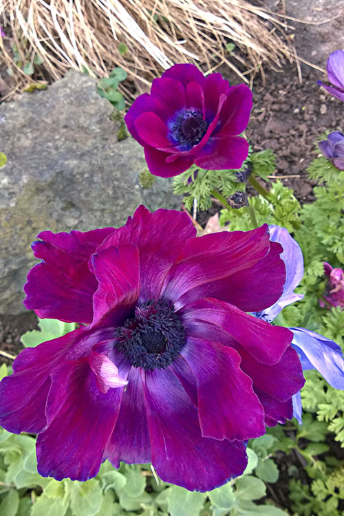 2 Quote A Flower Daily - Purple Anemone