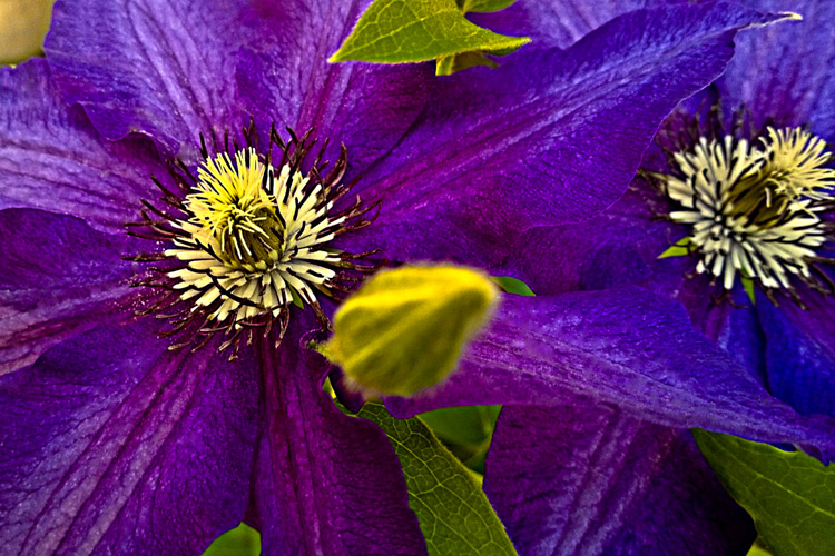 2 Quote A Flower Daily - Purple Clematis Duo