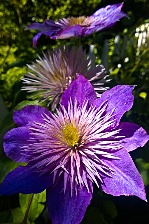 2 Quote A Flower Daily - Purple Clematis Spotlight
