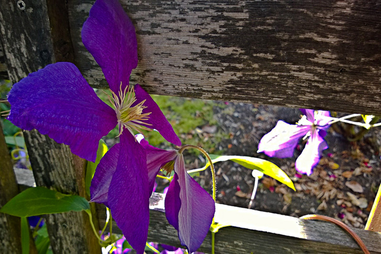 2 Quote A Flower Daily - Purple Clematis Wooden Fence
