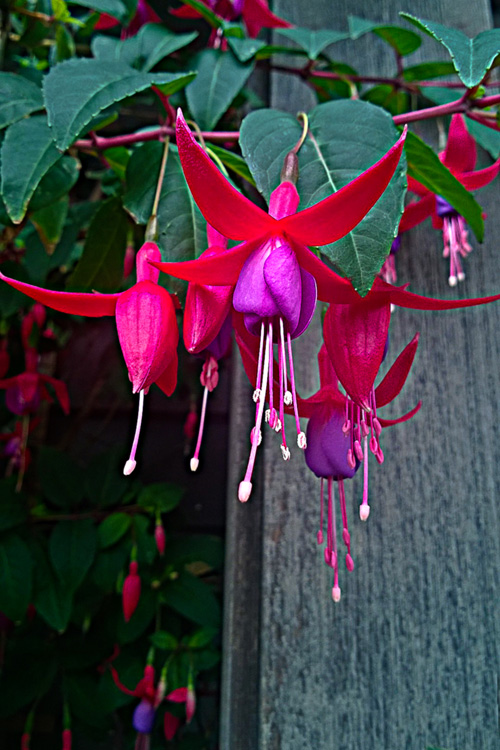 2 Quote A Flower Daily - Purple Fuchsia