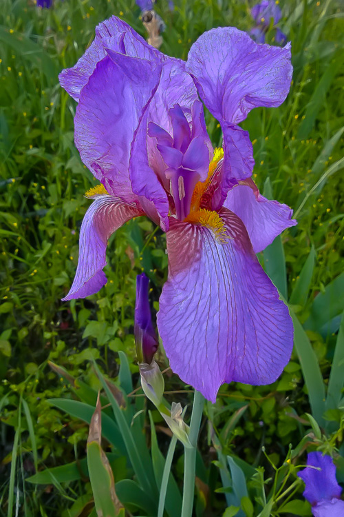2 Quote A Flower Daily - Purple Iris 01