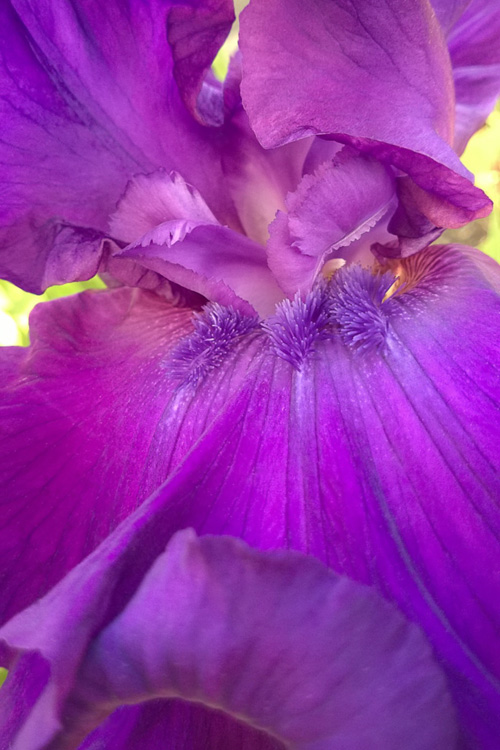 2 Quote A Flower Daily - Purple Iris Abstract