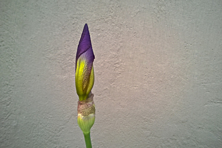 2 Quote A Flower Daily - Purple Iris Bud
