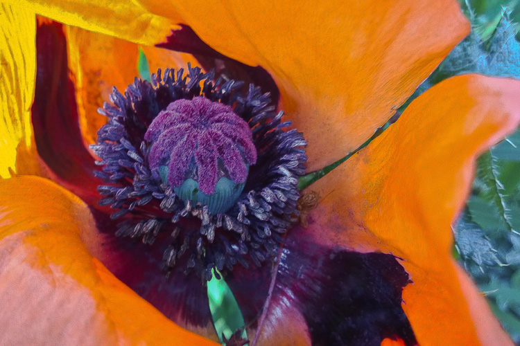 2 Quote A Flower Daily - Purple Oriental Poppy