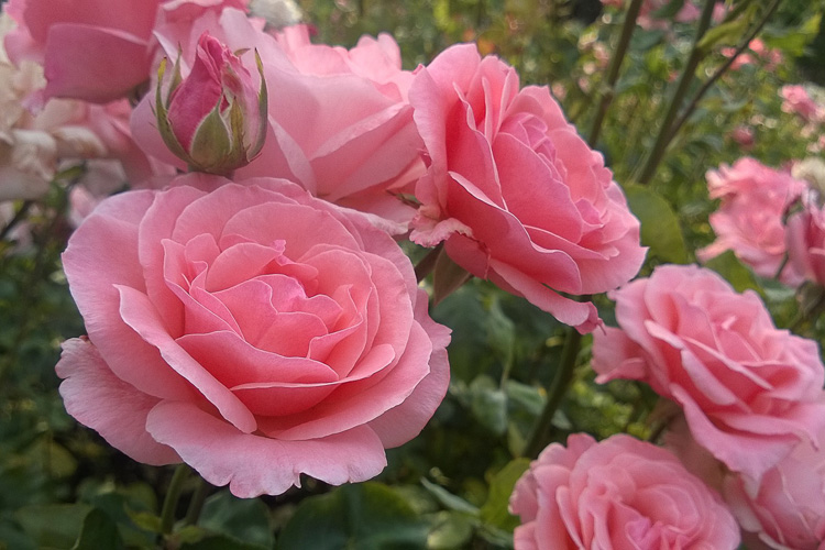 2 Quote A Flower Daily - Queen Elizabeth Pink Roses