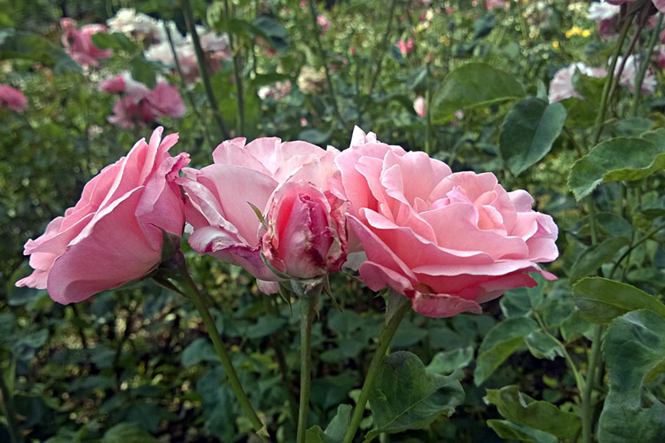 2 Quote A Flower Daily - Queen Elizabeth Roses 02