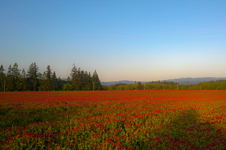 2 Quote A Flower Daily - Red Clover Field
