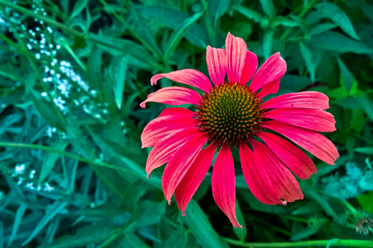2 Quote A Flower Daily - Red Echinacea 02