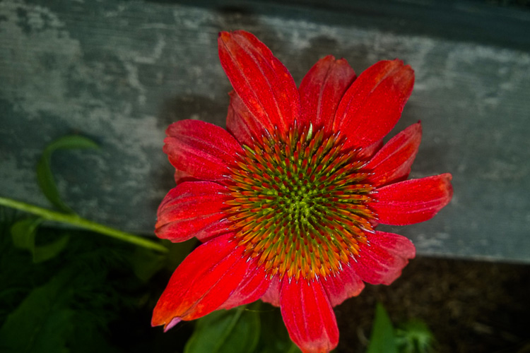 2 Quote A Flower Daily - Red Echinacea