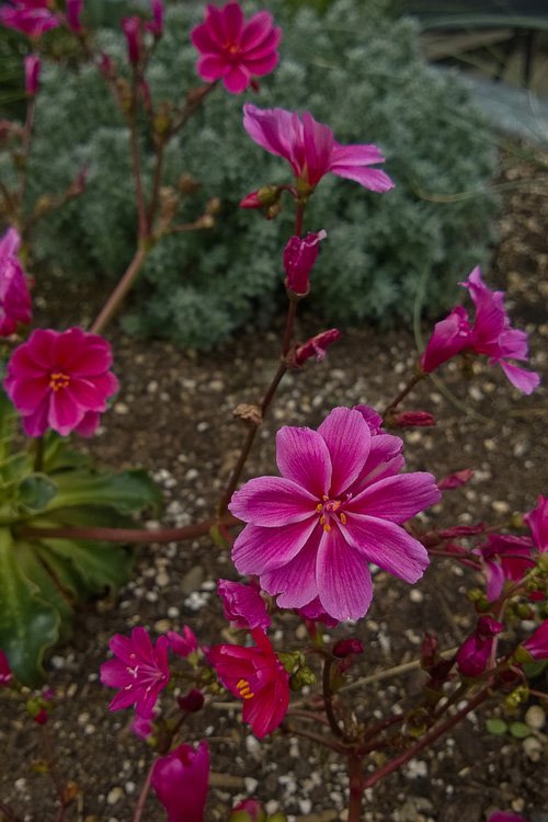 2 Quote A Flower Daily - Red Lewisia