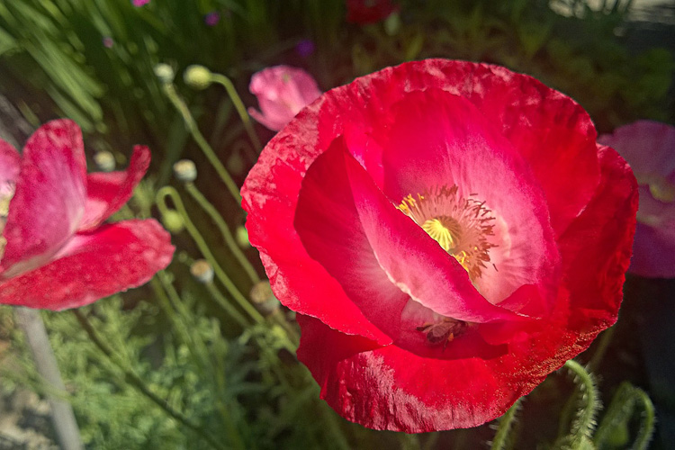2 Quote A Flower Daily - Red Poppy with Bee 02