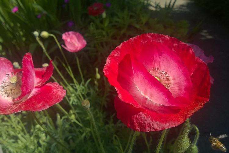 2 Quote A Flower Daily - Red Poppy