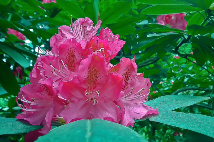 2 Quote A Flower Daily - Red Rhododendron