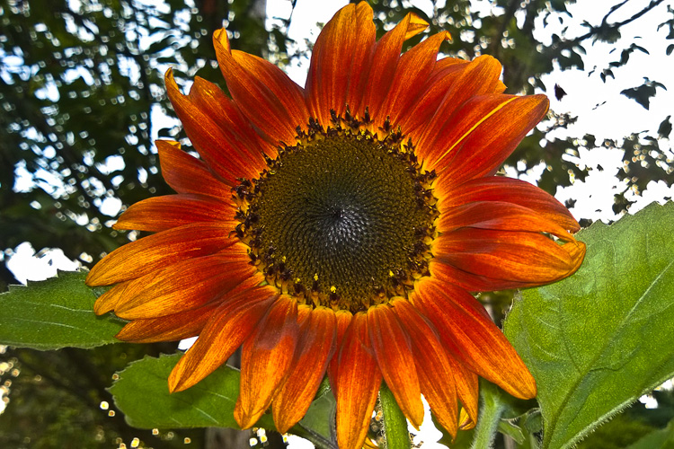 2 Quote A Flower Daily - Red Sunflower