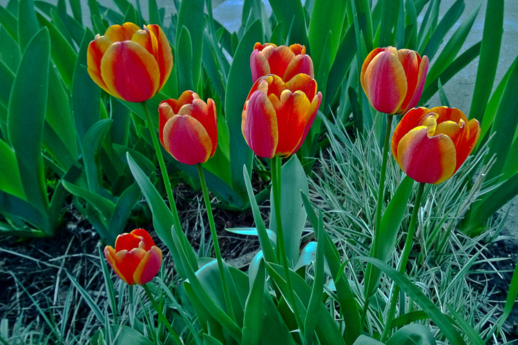 2 Quote A Flower Daily - Red Tulips