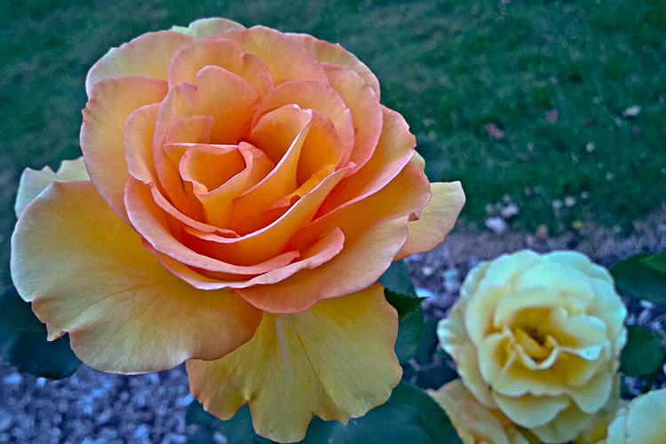 2 Quote A Flower Daily - Rose Sundance