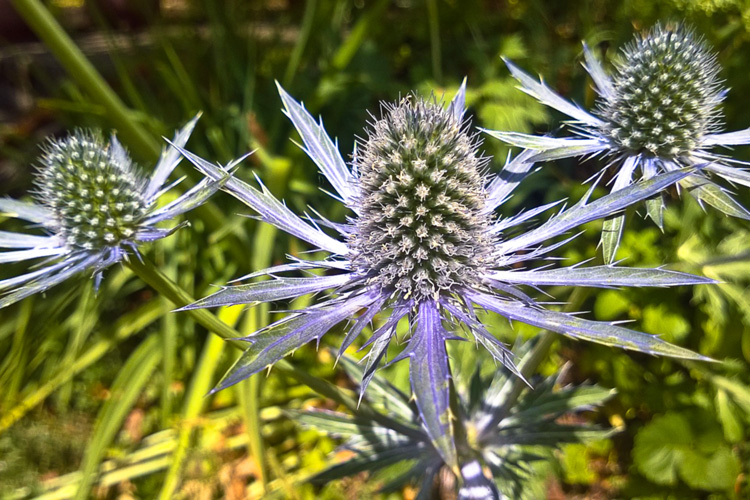 2 Quote A Flower Daily - Sea Holly Trio