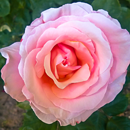 2 Quote A Flower Daily - Soft Pink Rose